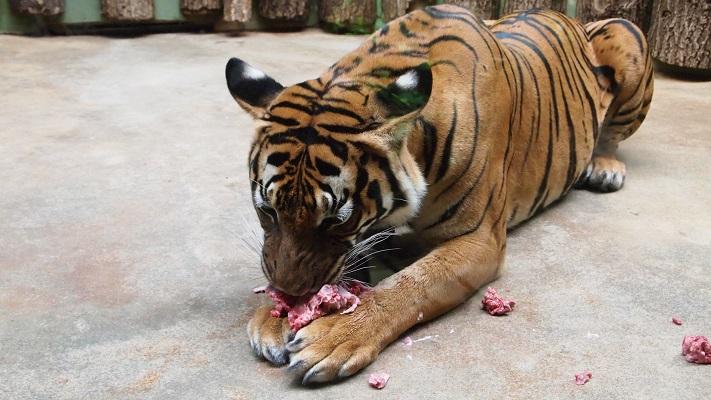 Тигр в зоопарке Праги
