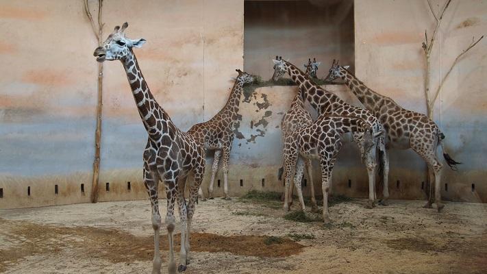 Жирафья семья в пражском зоопарке